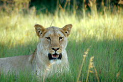 Lioness in field Stock Photo
