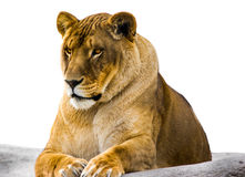 The Lioness. This fierce lioness perched atop a large rock keeps watch over her pride royalty free stock photos