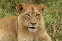 Lioness fissare Fotografie Stock Libere da Diritti