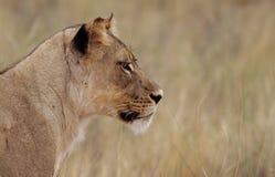 Lioness fissare Fotografia Stock