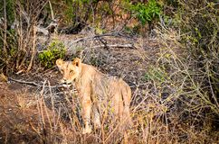 Lioness on Forest Stock Photography