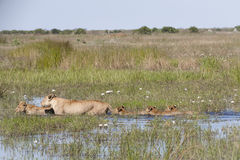 Lioness and Four Cubs Trudging through Water Royalty Free Stock Photos