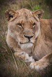 Lioness gaze. Young lioness, resting in the grassland, ever watchfull for a meal Stock Images
