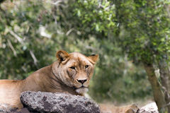 Lioness Gazes Serenely from rocky lair. Stately Lioness lies on a rocky lair and gazes serenely at the camera, foliage and bokeh background Royalty Free Stock Photos
