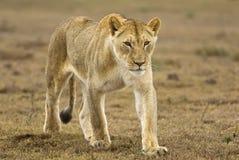 Lioness giovane d'avvicinamento Fotografia Stock Libera da Diritti