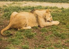 Lioness gnaw a bone on the grass.Safari. Lioness gnaw a bone on the grass.Safari park royalty free stock photography
