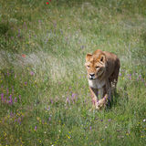 Lioness goes on the field. The lioness goes on the field with grass Royalty Free Stock Photos