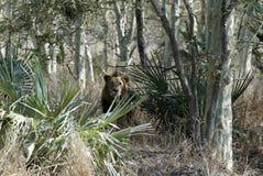 Lioness, Gorongosa National Park, Mozambique Stock Image