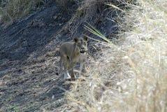 Lioness, Gorongosa National Park, Mozambique Stock Photo