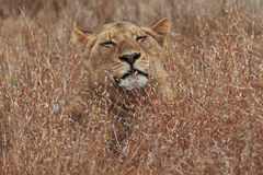 Lioness in Grass Stock Photos