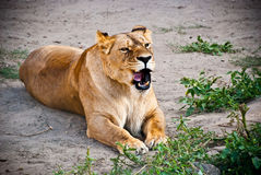 Lioness in the grass Royalty Free Stock Images