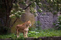 Lioness on the grass. In Warsaw zoo Stock Photography