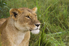 Lioness in the grass Royalty Free Stock Image