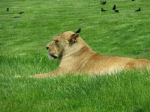 Lioness on a grass bed. Lioness resting on a green grass bed on a sunny day,when we went to visit on safari trip Royalty Free Stock Photos