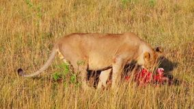 Lioness in the grass eating a wildebeest. Savannah. Masai Mara. Successful hunting pride of lions. Wildebeest for breakfast stock video footage