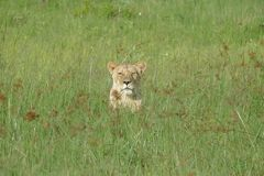 Lioness. Grass hiding Botswana Africa solitary Royalty Free Stock Photo