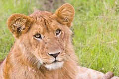 Lioness in the grass Royalty Free Stock Photography