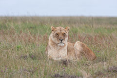 Lioness in grass Royalty Free Stock Image