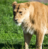 Lioness on the grass in the wild Stock Photo
