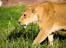 Lioness on the grass in the wild Royalty Free Stock Photo