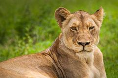 Lioness on Green Grass Field Royalty Free Stock Images