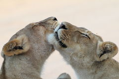 Two Lions licking and grooming Royalty Free Stock Photos