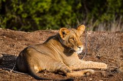 Lioness on Ground Royalty Free Stock Photography