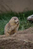 Groundhog nibbling on food. A groundhog nibbling on food Stock Images