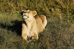 Lioness growling in the morning sun. Lying in the grass Royalty Free Stock Image