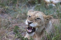 Lioness growling portrait Stock Photo