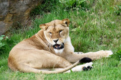 Lioness Growling Stock Photo