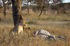 Lioness guarding her prey. Lioness sitting next to a just killed zebra Stock Images