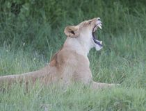 Lioness having a big yawn after sleeping in the sun, royalty free stock images