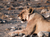 Lioness having a rest Stock Image