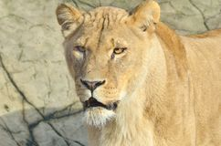 Lioness head Stock Photo