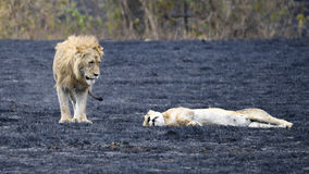 Lioness in heat and Lion in the Ngorongoro Crater Royalty Free Stock Image