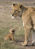 Lioness with her baby Royalty Free Stock Photos