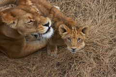 A Lioness and her Cub Royalty Free Stock Photography