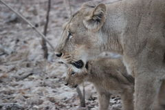 Lioness and her cub at Gir National Resrve. Gujarat - India Royalty Free Stock Image