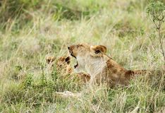 A lioness and her cub Royalty Free Stock Photo