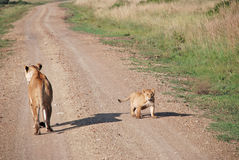 Lioness and her cub in The Maasai Mara National Reserve, Kenya Stock Photo