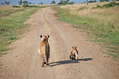 Lioness and her cub in The Maasai Mara National Reserve, Kenya Royalty Free Stock Images