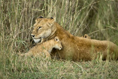 Lioness and her cub, Serengeti National Park, Royalty Free Stock Photo