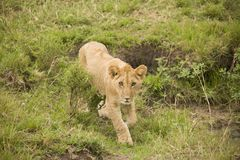 A lioness and a cub walking in the African bush royalty free stock photos