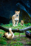 A lioness and her cubs Stock Photography