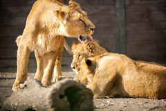 Lioness with her cubs royalty free stock photography