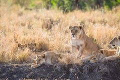 Lioness with her cubs Stock Images