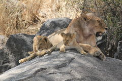 Lioness with her cubs. Lioness with lion cubs on a rock Stock Photography