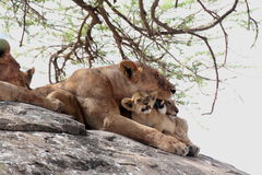 Lioness with her cubs. Lioness with lovely lion cubs on a rock Stock Photos