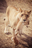 Lioness with her cubs in the mouth Royalty Free Stock Images